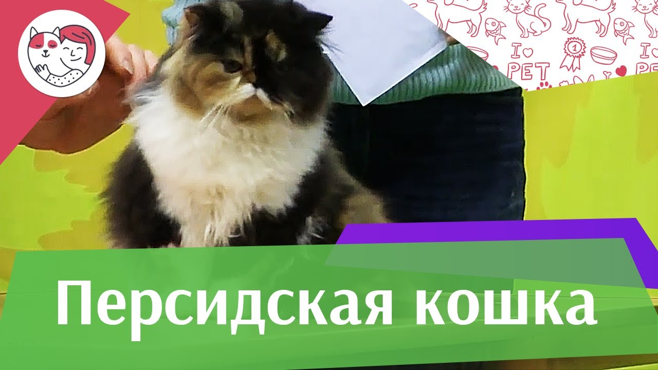 Персидская кошка на ilike.pet История породы