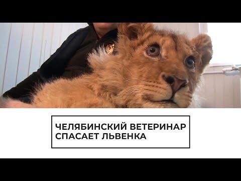Челябинский ветеринар спасает львенка