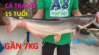 Cá Tra Vồ Khủng Gần 7kg Tả Pí Lù Siêu Ngon