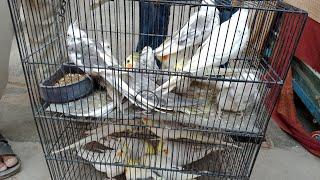 Birds Breeding Tips videos,Birds Breeding Tips clips