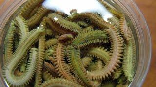 Ловля наваги на сушеного морского червя