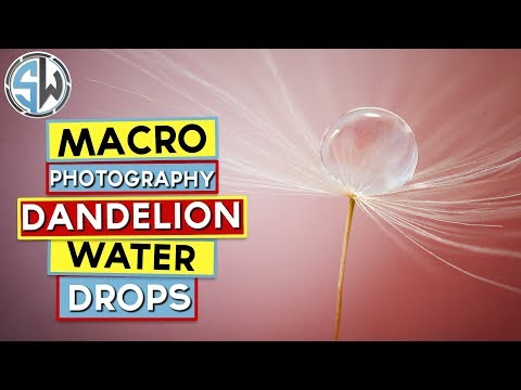 macro photography water drop on a dandelion seed