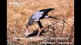 Secretarybird  (Sagittarius serpentarius) EDITED BY GUMIRA