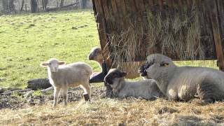 Zufriedene und glückliche Schafe entdeckt bei unserer Philosophischen Bildwanderung Traumschleife Köhlerpfad am Steinbach -Hunsrück