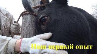 Деревенские будни / Пилю рог корове Кнопке - Наш первый опыт / Семья в деревне
