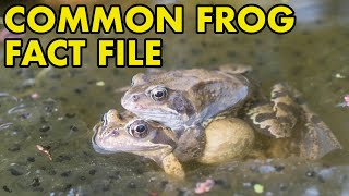 Common Frog: Fact File (British Wildlife Facts)