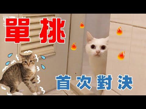 總是打翻飼料的俊榮 貓奴該如何處裡呢