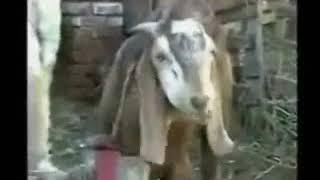 Punjabi Totay   Funny Bakra Animals Video   Punjabi Dubbing Video 2016