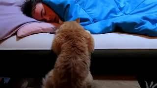 Кот смешно будит хозяина.  Лучшие приколы.