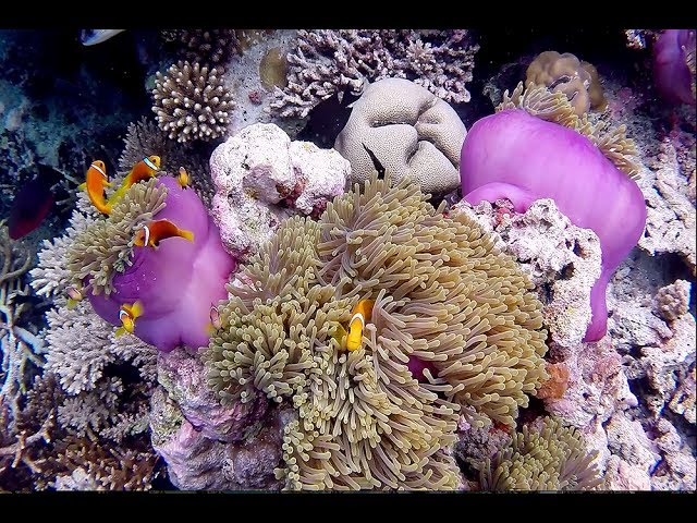 Maldive - The Movie [ Maldives - Ari North - Maayafushi House Reef Snorkeling ]