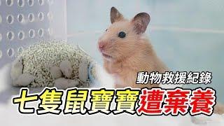 七隻鼠寶寶遭棄養 動物救援全紀錄 【維鼠日記】#39