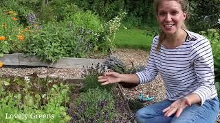 Growing & Harvesting Lavender