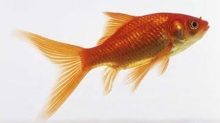 Аквариум. Золотые рыбки Комета. Aquarium. Goldfish Comet.