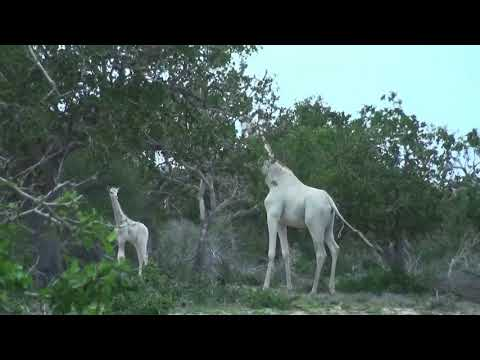 Rare white giraffe filmed in Kenya