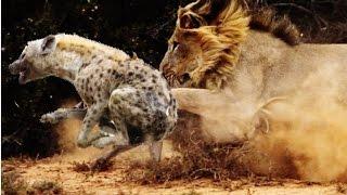 Львы против Гиены - 2015