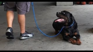 Dog Training: 3 Year Old Rottweiler, Moose! Before/After 2 Week Board and Train!