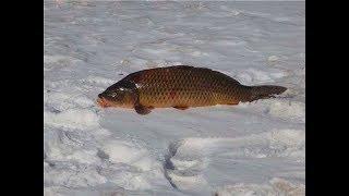 Как ловят сазана зимой