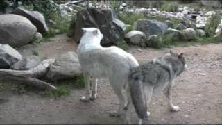 Wolf Exhibits are sensitive to noise and disturbance