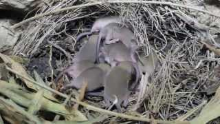 Mus Musculus (House Mouse) Nest With A 12 Babies - Cyprus