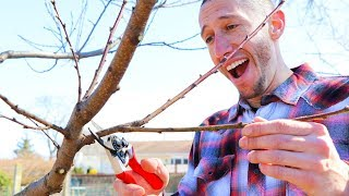 How to Prune a Peach Tree!