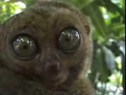 Dieren kaarten, Een lemur hypnotiseert