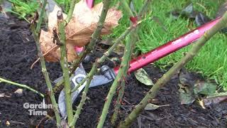 Pruning Hybrid Tea Roses