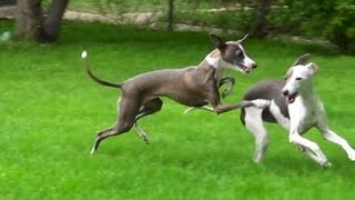 Running Like Crazy... Italian Greyhounds Waited All Winter For This!!!