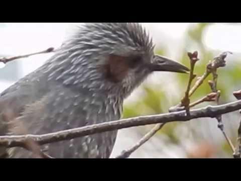 キィキィ 鳴き声 鳥