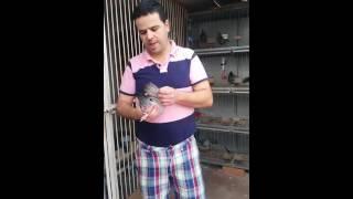 Pigeons de production frère tatou