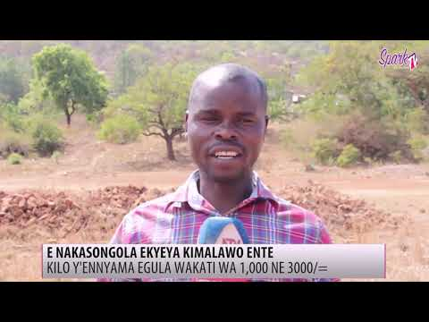 E Nakasongola ekyeya kimalawo ente, Kilo y'ennyama egula wakati wa 1,000 ne 3,000/-