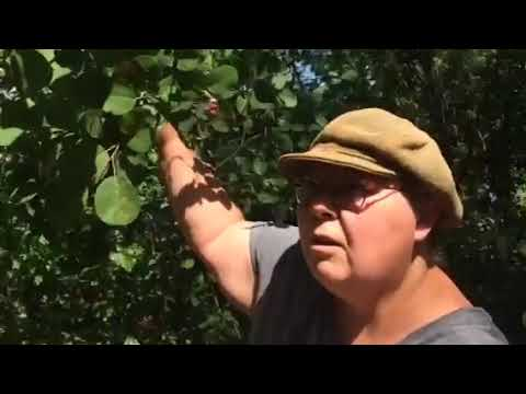 Canada: Edmonton woman encourages city-dwellers to forage along the Bow River and enjoy the fruits of their labour