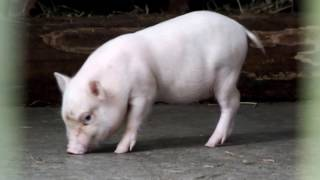 Super cute! One month after birth. Babies of miniature pig (Göttingen).超かわいい!生後一ヶ月。ミニブタ(ゲッチンゲン)の赤ちゃん