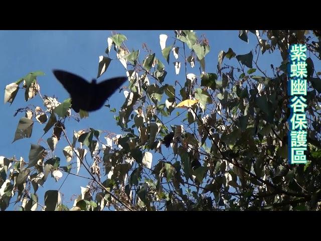 <html> <body> Film for Purple Butterfly2020-1-3 </body> </html>