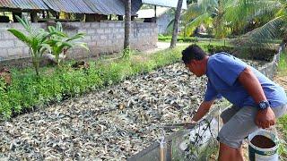 Native Catfish Farming│Inside the most successful catfish farm