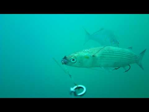 Waterwolf - Traina con il vivo al pesce serra