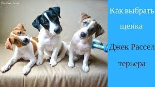 Как выбрать щенка Джек Рессел терьера   Купить щенка Джек Рассел терьера