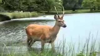 preview picture of video 'Deer in Bushy Park'