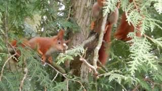 Eichhörnchen spielen - Gartenblick