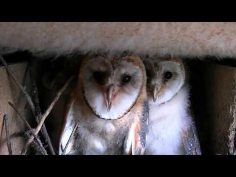 Schleiereule im Wasserturm 2012 Barn Owl Tyto Alba