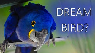 Are Hyacinth Macaws The DREAM Bird?