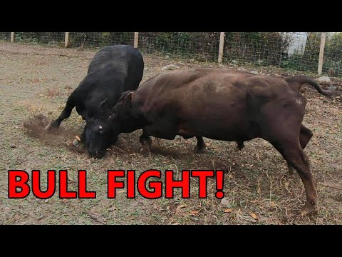 the BULLS BATTLE for dominance - combining the cattle herds & turning them out on fall pasture