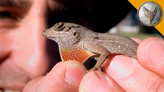 Small Lizard Is Super Feisty!