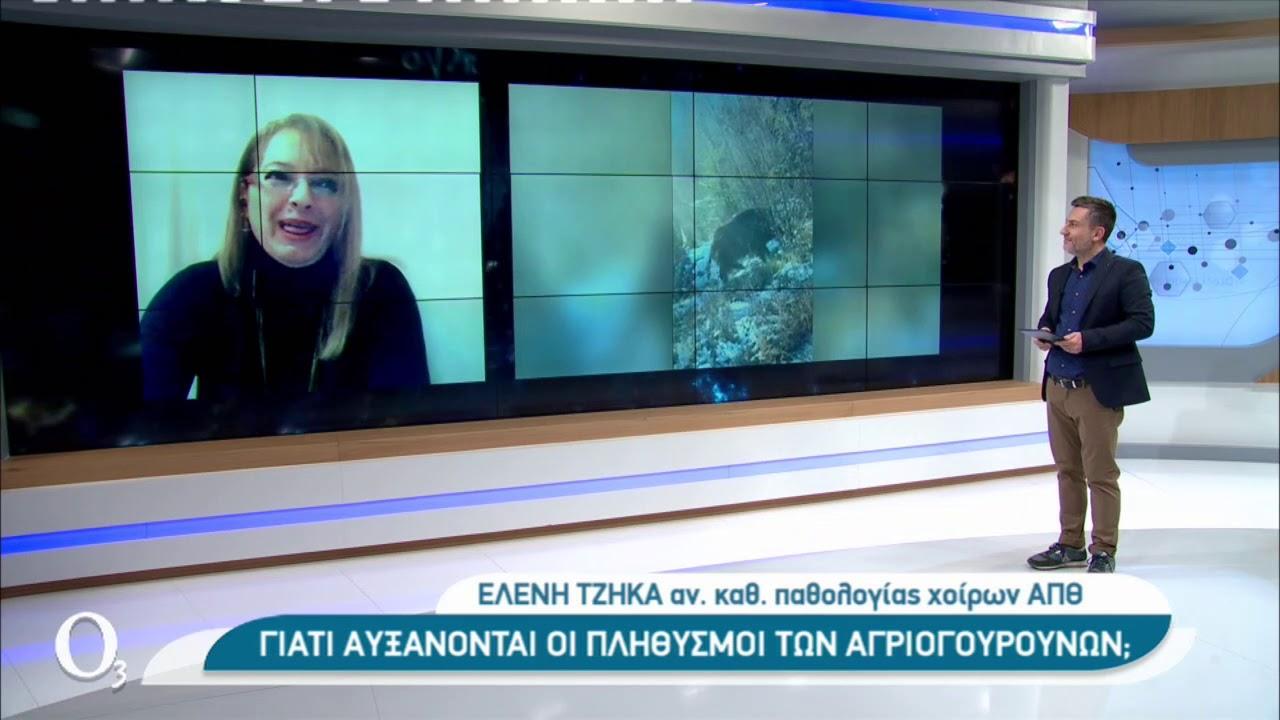 Αγριογούρουνα επανεμφανίστηκαν στα αστικά κέντρα   | 03/02/2021 | ΕΡΤ