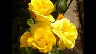 "Kevin Kendle,..""Skylark"",..Yellow Roses."