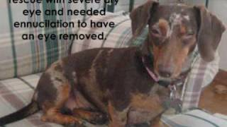 """MidWest Dachshund Rescue 2009 - """"The Special Ones"""""""
