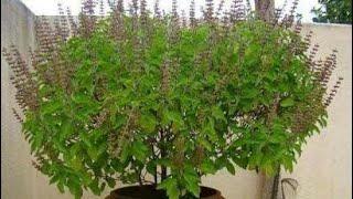 108. How to maintain Tulsi / holy basil plant by sadhna's terrace garden