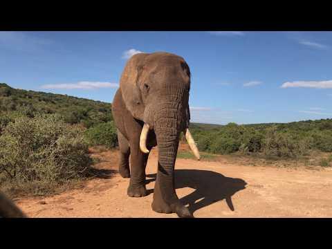 Giant bull elephant