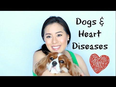 Video Heart diseases in Cavalier King Charles Spaniel Dogs |Mitral Valve Disease