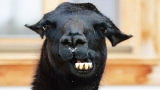 Funny and Cute Llamas 😍😂 [Funny Pets]