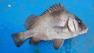 Ikan Kaci hitam (Harry Hotlips) Port Dickson